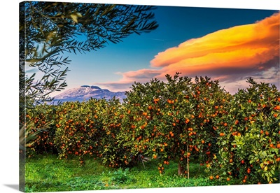 Italy, Sicily, Orange Groves, Area Of Ponte Barca Near Paterno, Mount Etna In Background