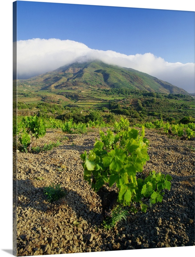 Italy, Sicily, Pantelleria Island, Piana di Ghirlanda, vineyards on the  plain