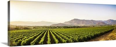 Italy, Sicily, Passopisciaro, Vineyards with Nebrodi mountains in the background