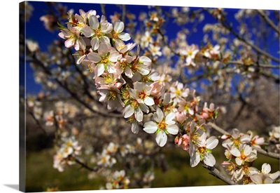 Italy, Sicily, Siracusa, Val di Noto, almond trees in bloom