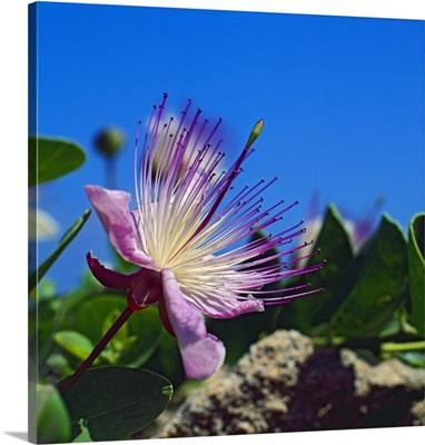 Italy, Sicily, Trapani district, Egadi islands, Favignana, Flower of caper