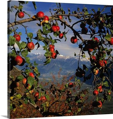 Italy, South Tyrol, Adige Valley, apple tree Caldaro towards Merano
