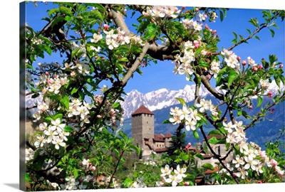 Italy, South Tyrol, Merano, Castel Tyrolo (Schloss Tyrol), apple tree in bloom