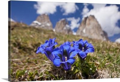 Italy, South Tyrol, Passo Sella, Gentian (Gentiana acaulis)and Sassolungo (Langkofel)