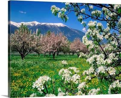 Italy, South Tyrol, Val Venosta, Apple tree and pear tree in bloom