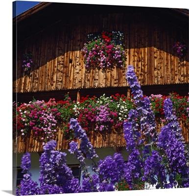 Italy, Trentino-Alto Adige, Dolomites, farmhouse with geranium flowers