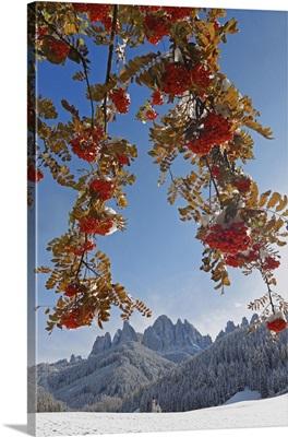 Italy, Trentino-Alto Adige, Dolomites, Sorbus aucuparia tree, San Giovanni church