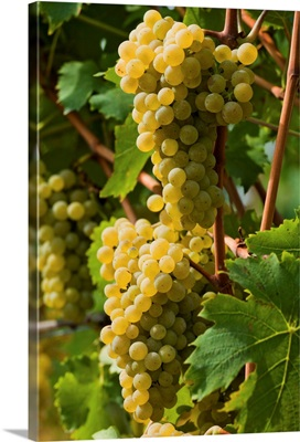 Italy, Trentino-Alto Adige, Dolomites, South Tyrol, Caldaro, Muller Thurgau grapes
