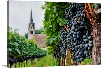 Italy, Trentino-Alto Adige, Dolomites, South Tyrol, Caldaro, Vineyard