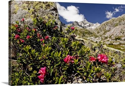 Italy, Trentino-Alto Adige, Dolomites, Val Nambrone, Rhododendron