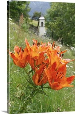 Italy, Trentino-Alto Adige, Lilium bulbiferum flower, Sant Anna bell tower church