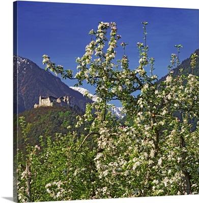 Italy, Trentino-Alto Adige, South Tyrol, Alps, Castel Obermontani, apple trees