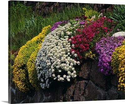 Italy, Trentino-Alto Adige, South Tyrol, Alps, Dolomites, Alpine flower