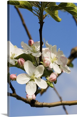 Italy, Trentino-Alto Adige, South Tyrol, Golden delicious apple flower