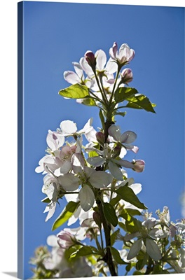 Italy, Trentino-Alto Adige, Trentino, Alps, Dolomites, Apple tree, flowers