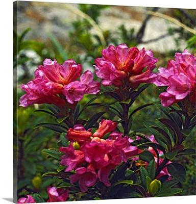 Italy, Trentino-Alto Adige, Trentino, Alps, Dolomites, Rhododendron ferrugineum