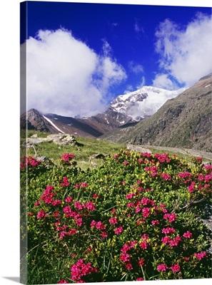 Italy, Trentino-Alto Adige, Trentino, Alps, Val di Pejo, Val de la Mare, rhododendron