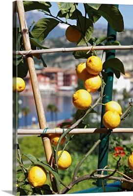 Italy, Trentino-Alto Adige, Trentino, Garda Lake, Lemon tree and harbor in background