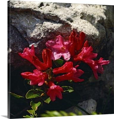 Italy, Trentino-Alto Adige, Val di Fassa, Rhododendron ferrugineum