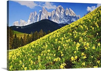 Italy, Trentino-Alto Adige, Val di Funes, Primeroses and Odle range