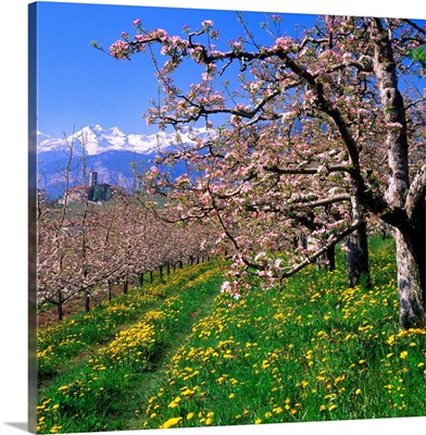 Italy, Trentino, Apple orchard, Castel Valer towards Gruppo di Brenta