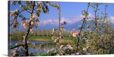 Italy, Trentino, Apple orchard towards Gruppo di Brenta