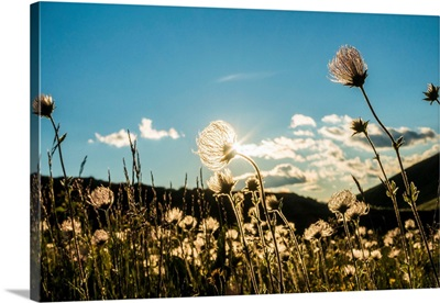 Italy, Trentino, Mountain Flowers Transparency With Sun Through Light At Sunset