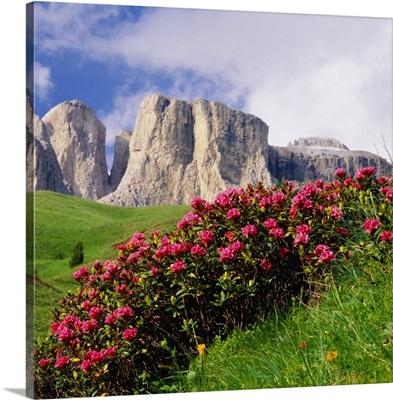 Italy, Trentino, Rhododendron ferrugineum, Torre del Sella mountain