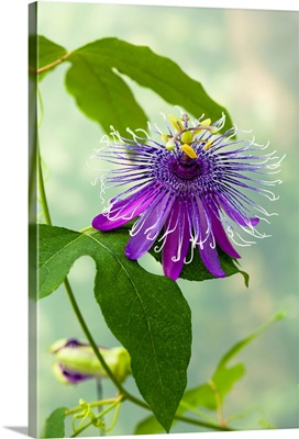 Italy, Trigolo, Passionflower