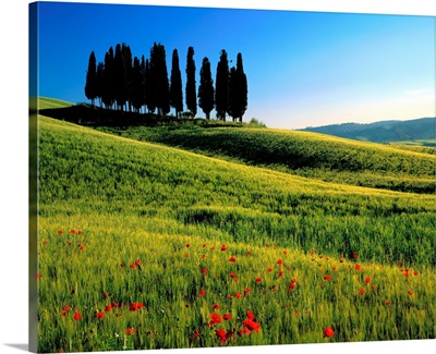 Italy, Tuscany, Cypress trees on typical landscape