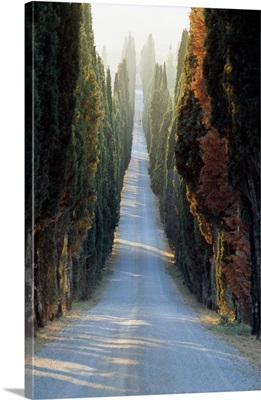 Italy, Tuscany, Cypresses along the road to Villa Arceno