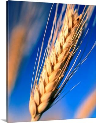 Italy, Tuscany, Ear of wheat