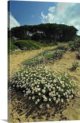 Italy, Tuscany, Elba island, Lacona, wild flowers, sea chamomile in the sand dune