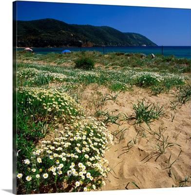 Italy, Tuscany, Elba, Lacona, flowers in the sand dune