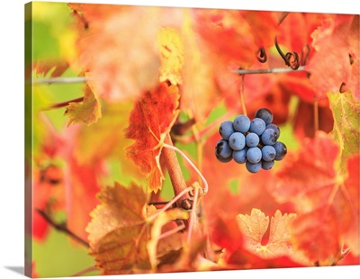 Italy, Tuscany, Firenze District, Chianti, Grape And Autumn Leaves
