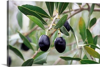 Italy, Tuscany, Leccino olives
