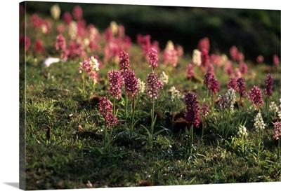 Italy, Tuscany, Maremma, Seggiano, Monte Amiata, Wild Orchids