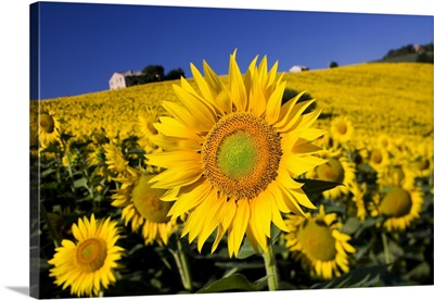 Italy, Tuscany, Mediterranean area, Landscape with sunflowers