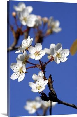 Italy, Tuscany, Mediterranean area, Pear tree, flowers