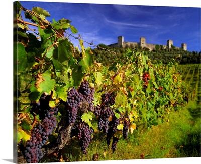 Italy, Tuscany, Monteriggioni, Chianti vineyards