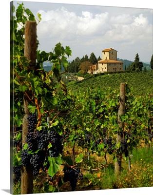 Italy, Tuscany, Panzano, San Martino, grapes of Chianti wine