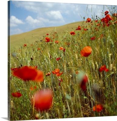 Italy, Tuscany, Poppy field