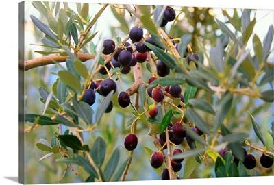 Italy, Tuscany, Seano village, olive tree
