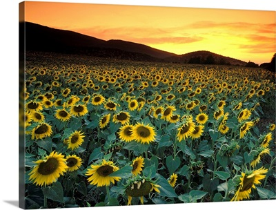 Italy, Tuscany, Sunflowers