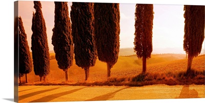 Italy, Tuscany, Val d'Orcia, road lined with cypress trees