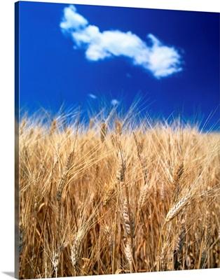 Italy, Tuscany, Wheat field