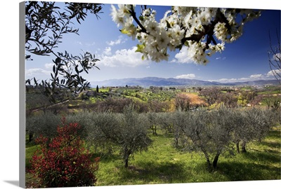 Italy, Umbria, Countryside and olive trees near Montefalco