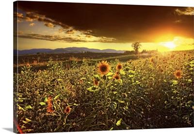 Italy, Umbria, Mediterranean area, Perugia district, Montefalco, Sunflowers