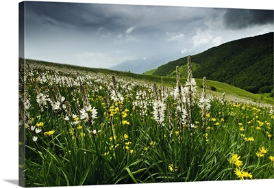 Italy, Umbria, Monti Sibillini National Park, Asfodeli in Forca Canapine