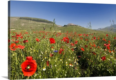Italy, Umbria, Monti Sibillini National Park, Perugia district, Poppy field
